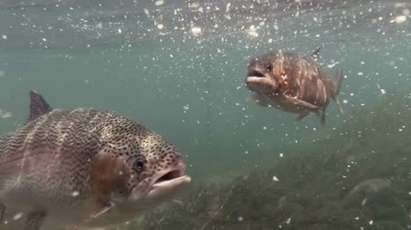 truta : Rainbow Trout Feeding Underwater.