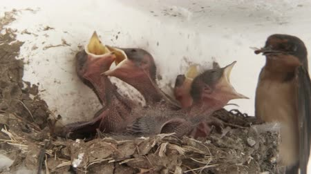 fészek : Swallow Chicks Fed in Slow Motion Medium Shot.