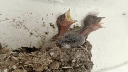 fészek : Swallow Chicks in Nest Cry For Food. Ambient audio included. Stock mozgókép
