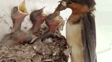 hnízdo : Barn Swallow Chicks Being Fed with Ambient Audio.