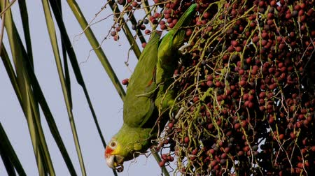 papuga : Yellow Cheeked Amazon Parrot Eating Palm Fruits from a Queen Palm Wideo