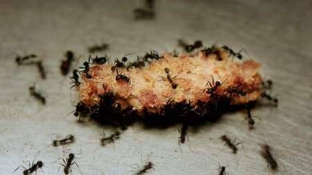 praca zespołowa : Black Ants Fall out Of Order While Eating Meat Piece