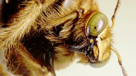 percevejo : Vertical View of Large Yellow Bumblebee Mouth and Face Seen Close Up