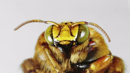 isolado no branco : Large Yellow Bumblebee Mouth and Face Seen Close Up