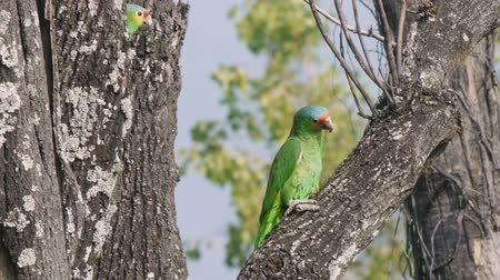 papuga : Two Wild yellow cheek parrots on top of the bark of a dead Fresno tree. In Central Mexico. Wideo