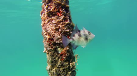 tropický : Trigger fish swimming across a submerged post covered in marine life. Pompano Beach Florida.