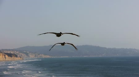 Калифорния : Two Pelicans Fly By Camera In Slow Motion Southern California 60p to 24p