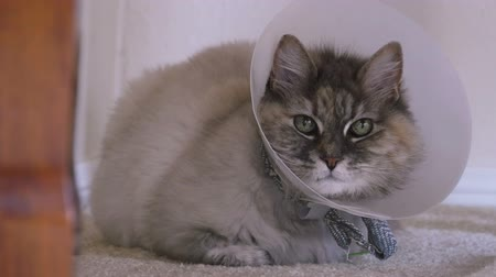 weterynarz : Cat With Vet Collar After Operation Wideo