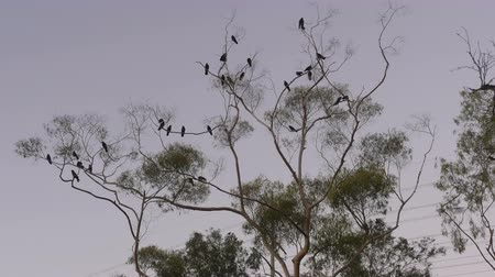 corvo : Many Crows Crowing On Top Of Tree Branches at Sunset California USA Vídeos