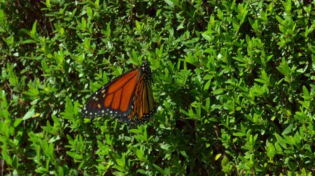 Monarch Butterfly on haagplant Flyies Off Stockvideo