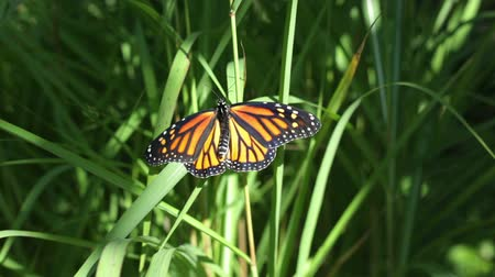owady : Closeup of a monarch butterfly sunning itself on some plants.