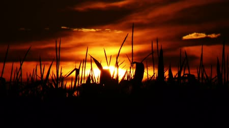 milharal : Time lapse of a sunrise behind the silhouette of a corn field.