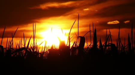 кукуруза : Time lapse of a sunset behind the silhouette of a corn field.