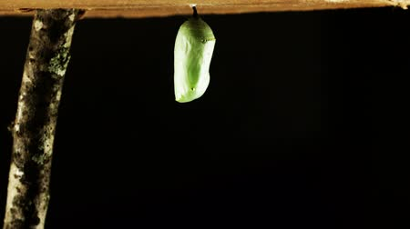 Time lapse of the complete metamorphosis of a monarch caterpillarbutterfly. Caterpillar makes chrysalis and then hatches into a butterfly.