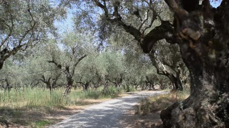 zante : Olive tree grove of the Zakynthos island, Greece.