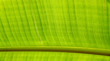 esverdeado : Close up of a Green leaf Stock Footage