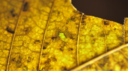 Close inspection of a dry leaf Wideo