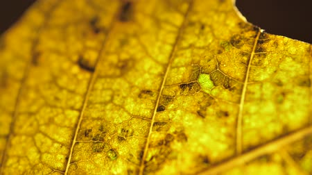 autumnal : Close inspection of a dry leaf Stock Footage