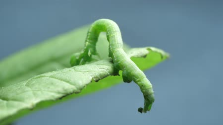 Close up of a caterpillar moving