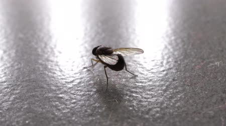 Macro shot of domestic fly moving swiftly 影像素材
