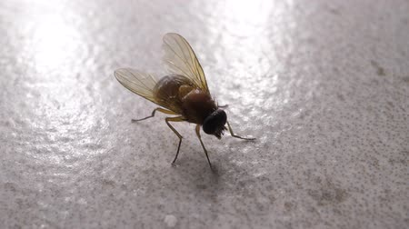mucha : Macro shot of domestic fly moving swiftly Wideo