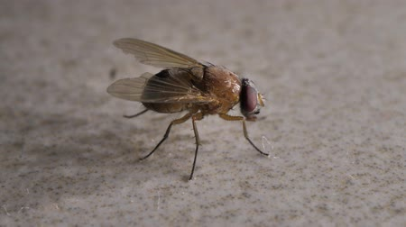 уродливый : Macro shot of domestic fly moving swiftly Стоковые видеозаписи