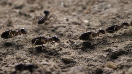 small group of animals : Close up of ants running and moving in various directions