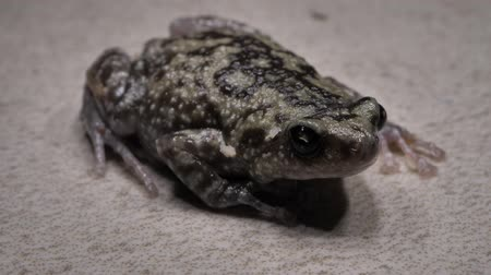 kurbağa : Close up of a living toad