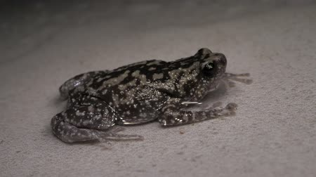 naživu : Close up of a living toad