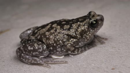 anfíbio : Close up of a living toad
