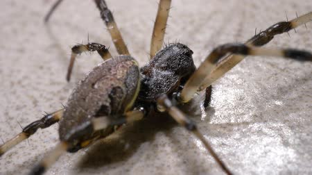 creeping : Close up of a creepy spider moving slowly