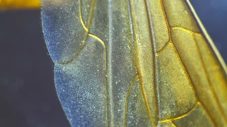 энтомология : Detailed Microscopic Footage of insect wings