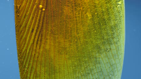 locust : Detailed Microscopic Footage of insect wings