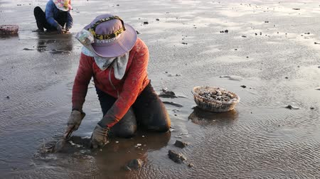 конг : Go Cong, Tien Giang, Vietnam. January 10, 2016. Rural people harvesting clam and sell for dealer at beach