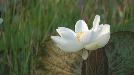 Fresh white lotus flower. Royalty free stock pictures in stock. A lotus flower in a pond. Peace scene in a countryside Stok Video