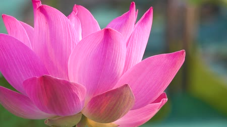 Fresh pink lotus flower. Close up of a beautiful pink lotus flower is blooming. Pink lotus flower in the sunlight Stok Video