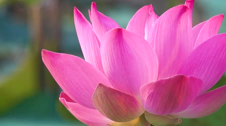fazilet : Pink lotus flower. Royalty high quality free stock footage of a beautiful pink lotus flower. The background is the pink lotus flowers and yellow lotus bud in a pond. Peace scene in a countryside