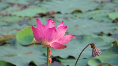 ayurveda : Pink lotus flower. Royalty high quality free stock footage of a beautiful pink lotus flower. The background is the pink lotus flowers and yellow lotus bud in a pond. Peace scene in a countryside
