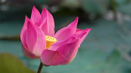 Pink lotus flower. Royalty high quality free stock footage of a beautiful pink lotus flower. The background is the pink lotus flowers and yellow lotus bud in a pond. Peace scene in a countryside. Stok Video