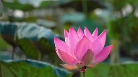 ayurveda : Pink lotus flower. Royalty high quality free stock footage of a beautiful pink lotus flower. The background is the pink lotus flowers and yellow lotus bud in a pond. Peace scene in a countryside. Stock Footage