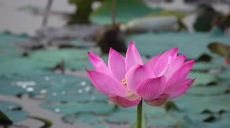 fazilet : Pink lotus flower. Royalty high quality free stock footage of a beautiful pink lotus flower. The background is the pink lotus flowers and yellow lotus bud in a pond. Peace scene in a countryside. Stok Video