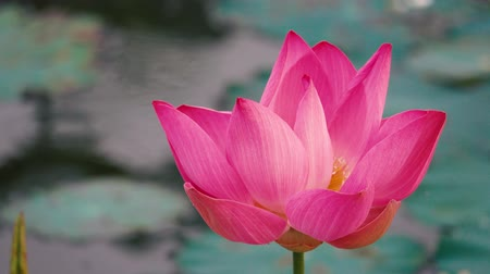 leknín : Fresh pink lotus flower. Close up of a beautiful pink lotus flower is blooming. Pink lotus flower in the sunlight Dostupné videozáznamy