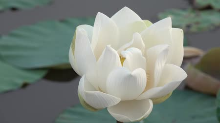 lilyum : White lotus flower. Royalty high quality free stock footage of a white lotus flower. The background is the lotus leaf and white lotus flower and yellow lotus bud in a pond Stok Video