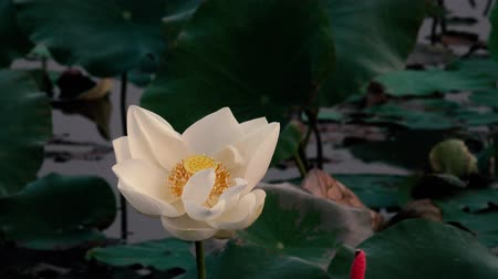 White lotus flower. Royalty high quality free stock footage of a white lotus flower. The background is the lotus leaf and white lotus flower and yellow lotus bud in a pond Stok Video