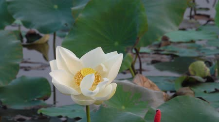 virágmintás : White lotus flower. Royalty high quality free stock footage of a white lotus flower. The background is the lotus leaf and white lotus flower and yellow lotus bud in a pond Stock mozgókép