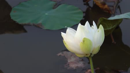 fazilet : White lotus flower. Royalty high quality free stock footage of a white lotus flower. The background is the lotus leaf and white lotus flower and yellow lotus bud in a pond Stok Video