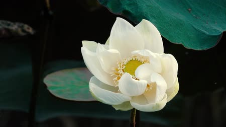 leknín : Fresh white lotus flower. Royalty free stock pictures in stock. A lotus flower in a pond. Peace scene in a countryside Dostupné videozáznamy