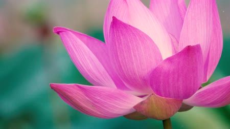 Pink lotus flower. Royalty high quality free stock footage of a beautiful pink lotus flower. The background is the pink lotus flowers and yellow lotus bud in a pond. Peace scene in a countryside