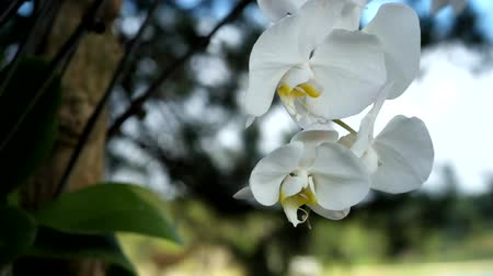 Beautiful white orchid flower (Phalaenopsis). Royalty free stock photo in no time. Close up of multi-colored tropical orchid flower in garden