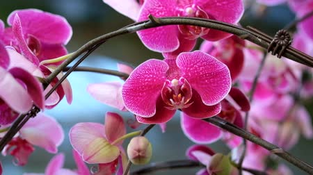 orchidea : Beautiful pink orchid flower (Phalaenopsis). Royalty free stock photo in no time. Close up of multi-colored tropical orchid flower in garden